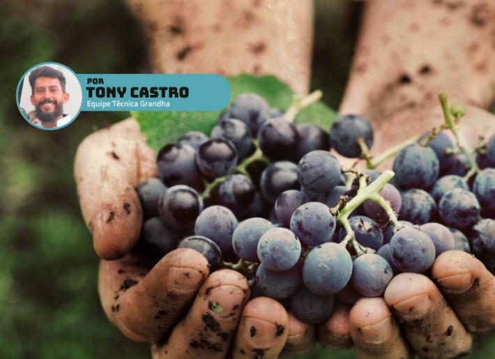 Homem segurando uvas recém-colhidas.